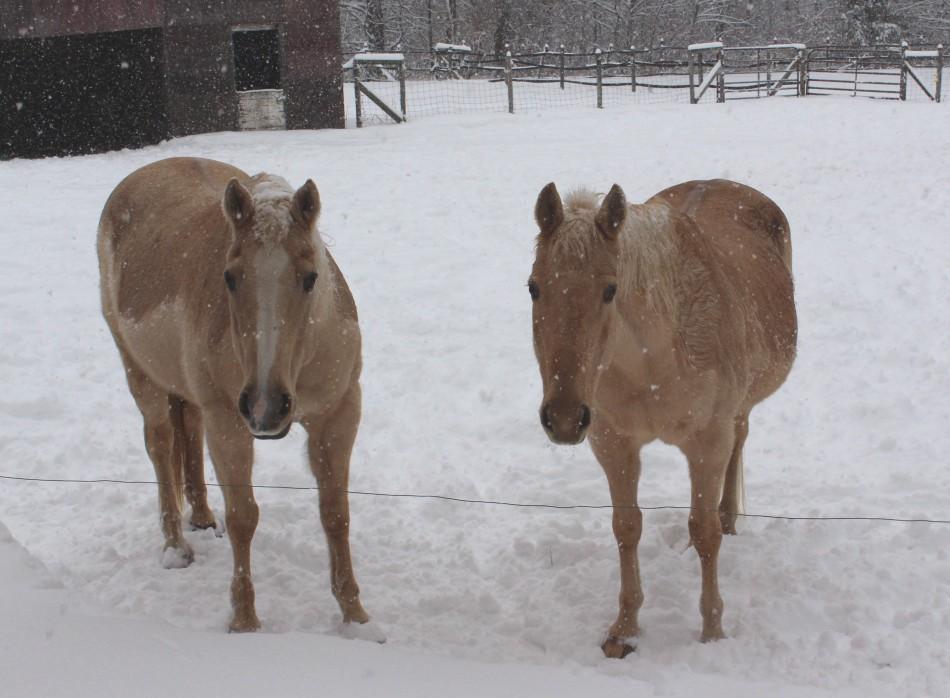 Palominos in Snow
