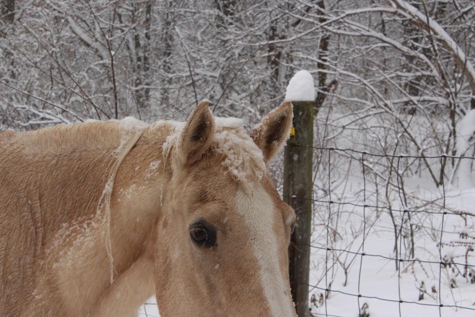 Palomino in snow