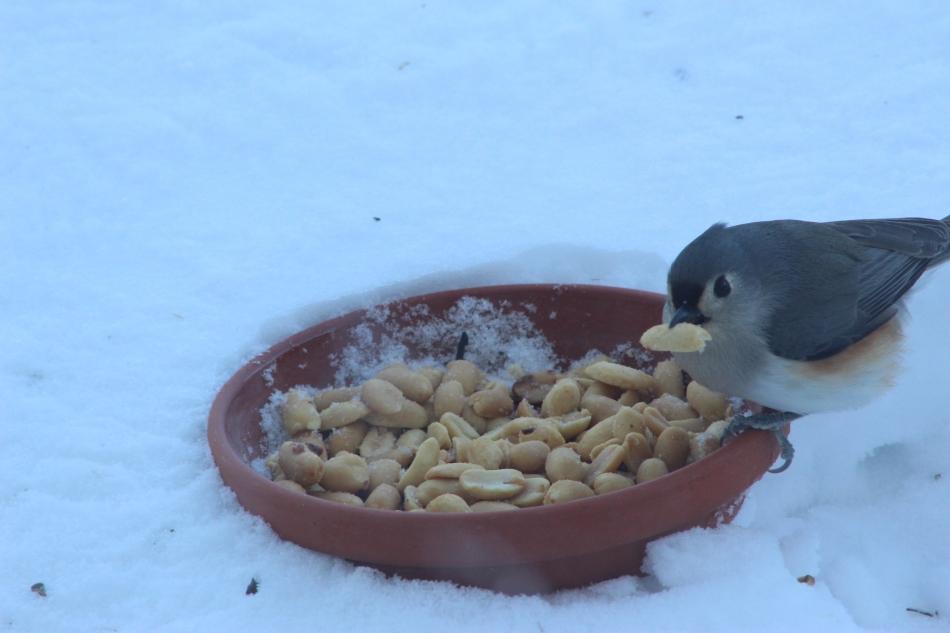 Titmouse with Peanut