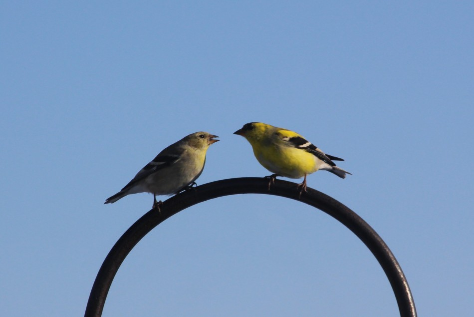 Goldfinch Pair