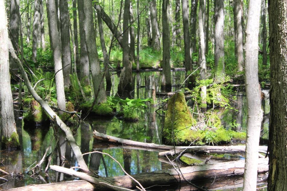 Swamp in Spring