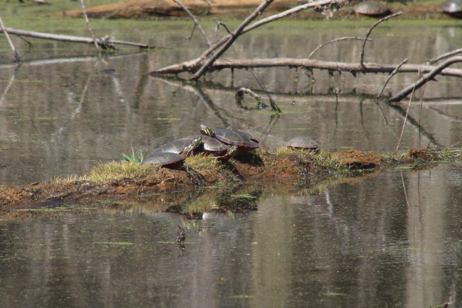 Sunning Turtles